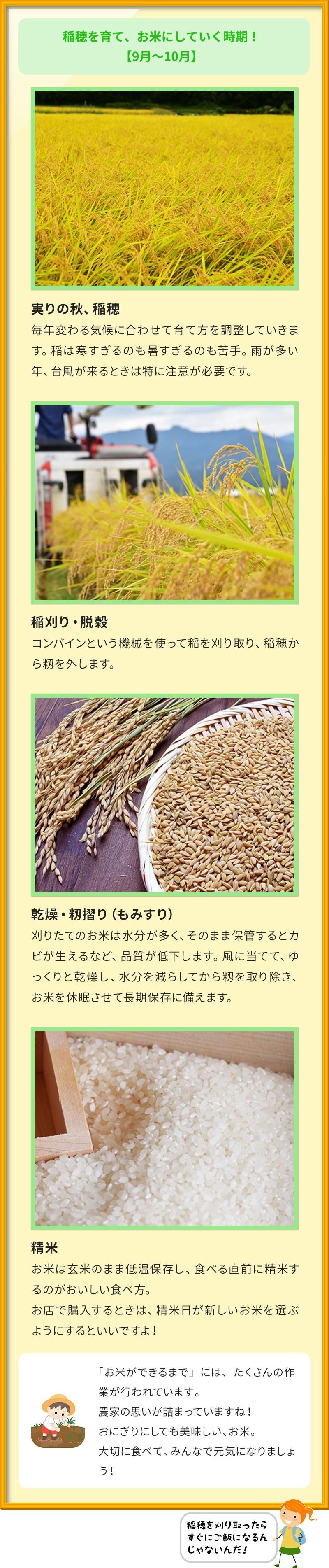 稲穂を育て、お米にしていく時期! 【9月~10月】 実りの秋、稲穂 毎年変わる気候に合わせて育て方を調整していきます。稲は寒すぎるのも暑すぎるのも苦手。雨が多い年、台風が来るときは特に注意が必要です。 稲刈り・脱穀 コンバインという機械を使って稲を刈り取り、稲穂から籾を外します。 乾燥・籾摺り(もみすり) 刈りたてのお米は水分が多く、そのまま保管するとカビが生えるなど、品質が低下します。風に当てて、ゆっくりと乾燥し、水分を減らしてから籾を取り除き、お米を休眠させて長期保存に備えます。 精米 お米は玄米のまま低温保存し、食べる直前に精米するのがおいしい食べ方。 お店で購入するときは、精米日が新しいお米を選ぶようにするといいですよ! 「お米ができるまで」には、たくさんの作業が行われています。 農家の思いが詰まっていますね! おにぎりにしても美味しい、お米。 大切に食べて、みんなで元気になりましょう!